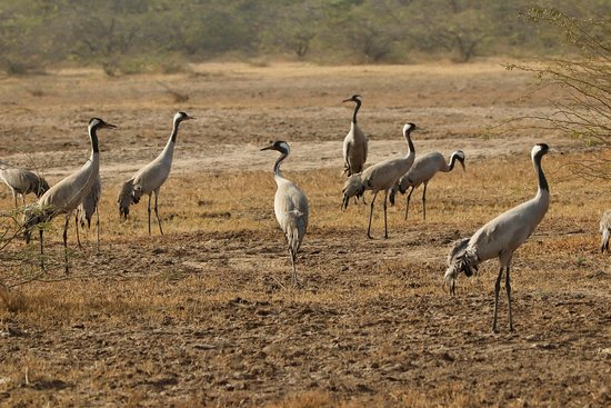 Cranes - Picture of Indian Wild Ass Sanctuary, Kutch