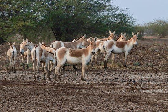 Indian Wild Ass Sanctuary