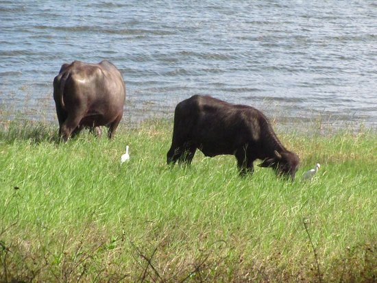 Water Buffalo And Egrets About 250 Metres From Our Chalet