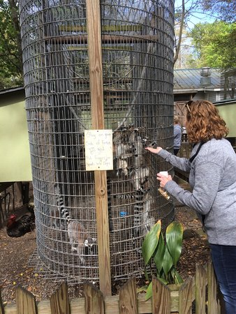 Cottageville, SC: Adults can get in on the action of feeding the Lemurs.