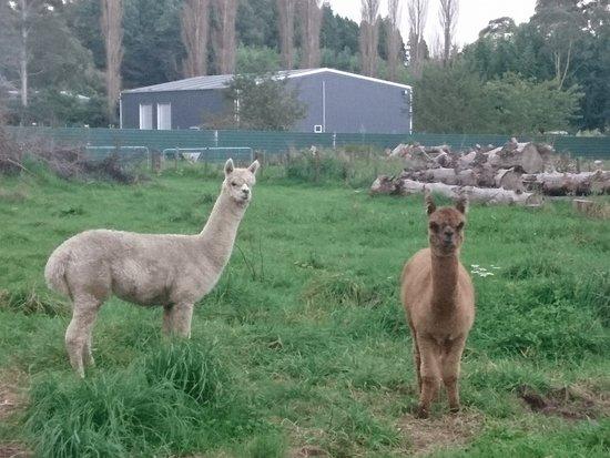 Rotorua Hideaway Lodge: There are cute alpakas