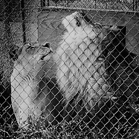 Bridgeport, TX: Lioness Layla and her mate, Mwali, from 2016.