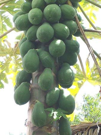 The Garden Island Grille: Papaya tree at Garden Island Grille