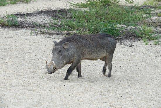Mahale Mountains National Park, Tanzania: Juliette the resident warthog