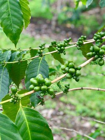Mauka Meadows: Coffee Beans