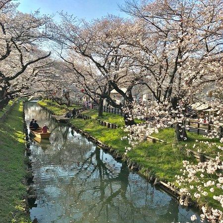 Shingashi River Cherry Blossoms