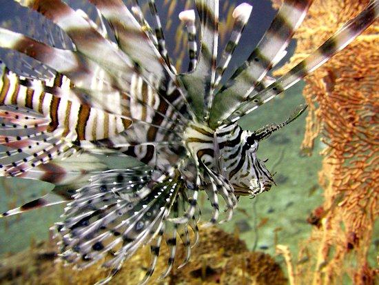 Searobin Dive Center: lion fish