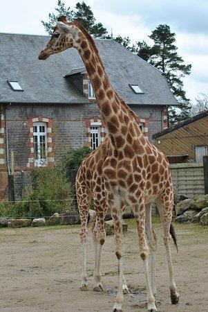 Jurques, Fransa: Girafes
