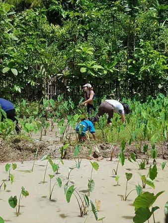 Sumatra, Indonesien: Helping cleaning the taro plantation
