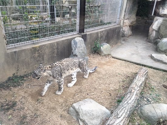 Kobe City Oji Zoo : ユキヒョウです。