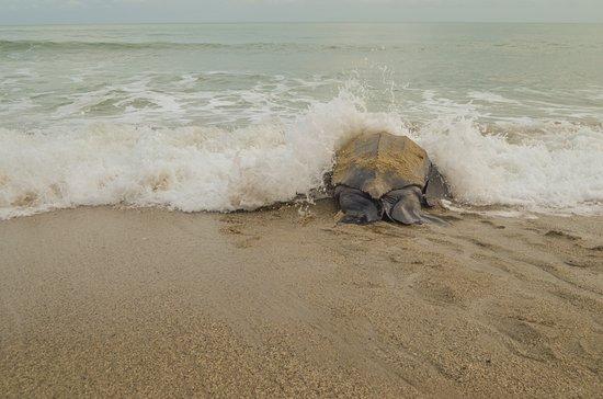 Acajou Hotel : The leatherback turtle returns to the ocean