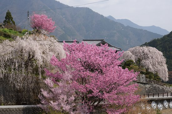 Oishike's Weeping Cherry Blossoms