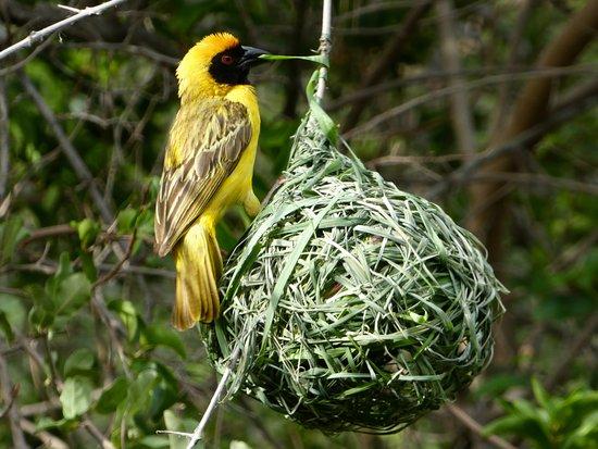 Etali Safari Lodge: Weaver Birds off the Patio