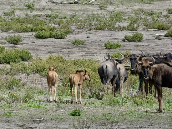 Zeerust, South Africa: new gnu in Madikwe