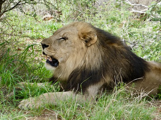 Zeerust, South Africa: Lion in Madikwe