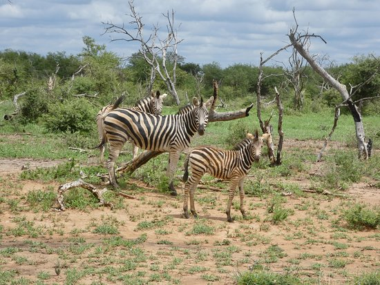 Zeerust, South Africa: Zebra Family in Madikwe