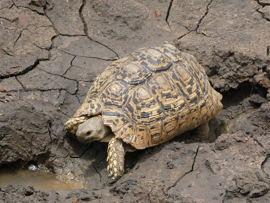 Zeerust, South Africa: Tortoise in Madikwe