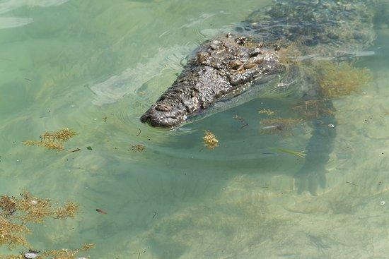 Full-Day Guided Sian Ka'an Biosphere Safari: Crocodile at the bridge