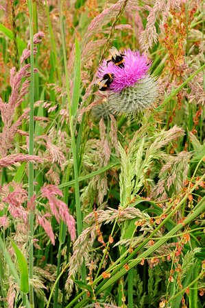 Ross and Cromarty, UK: A thistle and bumblebees photographed on a field margin on the Black Isle