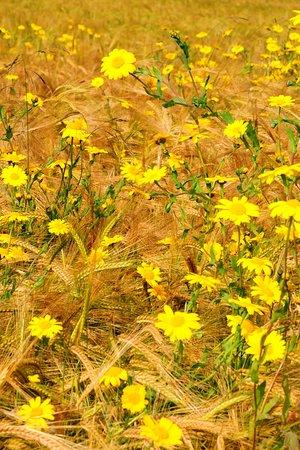 Росс и Кромарти, UK: Beautiful corn marigolds growing in the corner of a farmer's field on the Black Isle