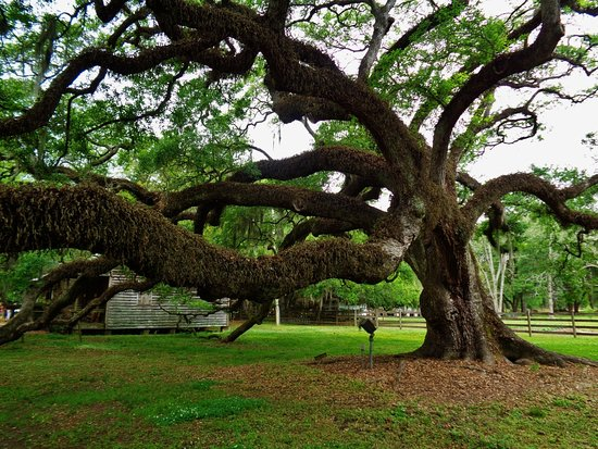 Destrehan Plantation: Ancient live oak.