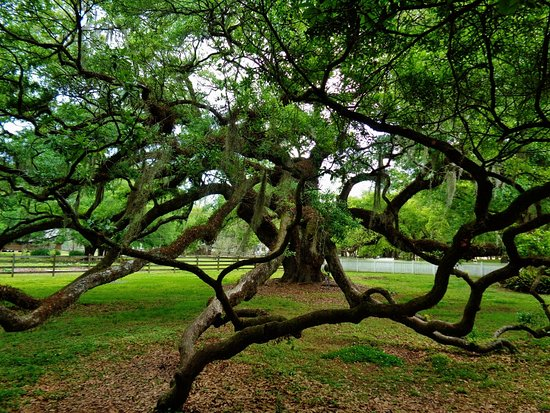 Destrehan, LA: Ancient live oak.