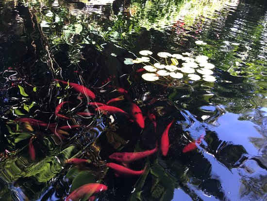 Marie Selby Botanical Gardens : Inhabitants of the asian pool