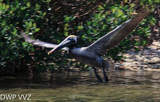 Sarasota Bay Explorers : Pelican taking flight, viewed from SB Explorer boat, at bird nesting rookery...
