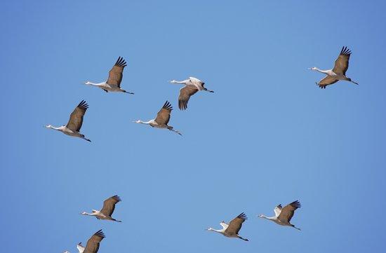Gibbon, NE: Sandill Cranes flying overhead.