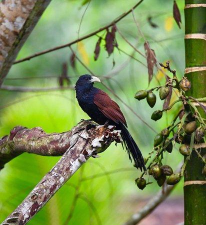 Sinharaja Forest Reserve: bird endemic