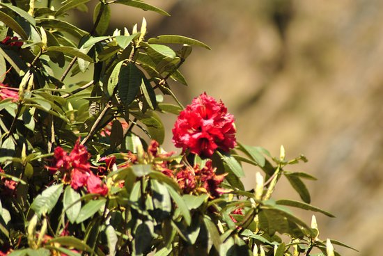 Sagarmatha Zone, Νεπάλ: Rhododendron Flower in Everest region
