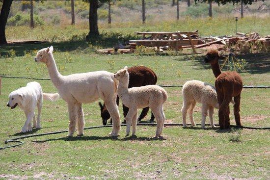 Bicknell, UT: Alpacas