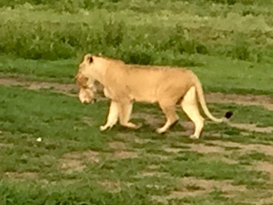 Serengeti Migration Camp: לביאה וגורה בין שיניה