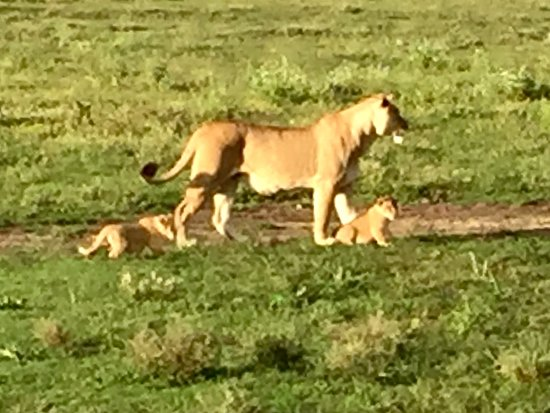 Serengeti Migration Camp: סרנגטי, לביאה בטיול בוקר עם הגורים