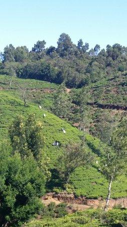 Heritance Tea Factory: tea fields around the hotel