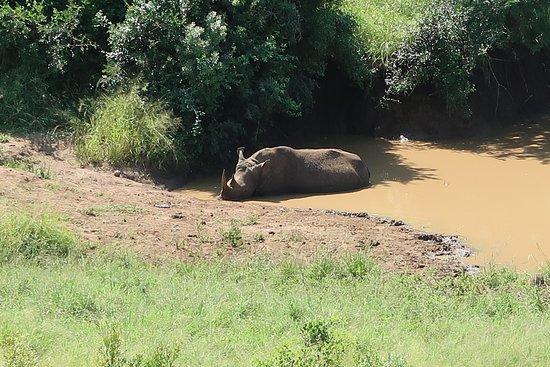 Zululand, Afrika Selatan: White Rhino