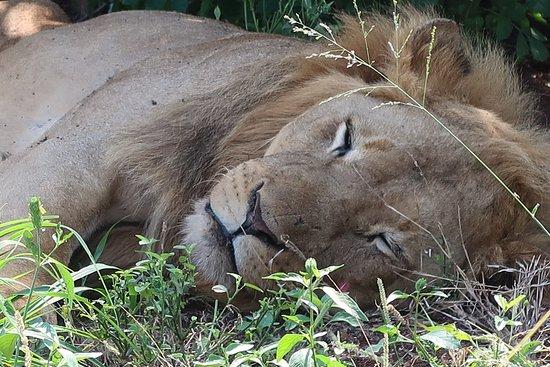 Zululand, Sudáfrica: Lion