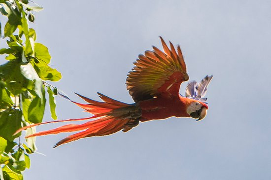 El Remanso Lodge: Scarlet macaw in flight leaving a palm by the pool