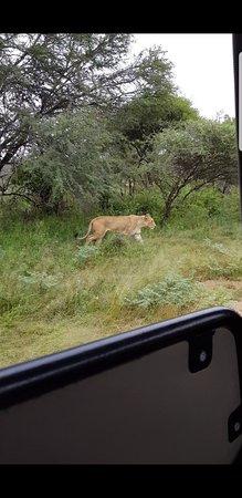 حديقة كروجر الوطنية, جنوب أفريقيا: Lioness