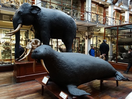 elefante e tricheco