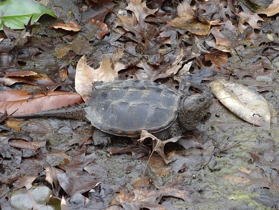 Virginia House: The snapper in the pond