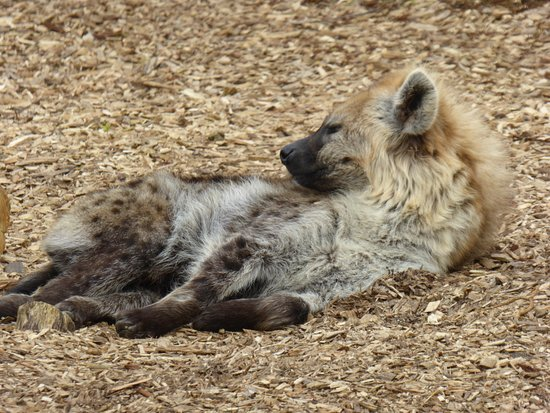 Colchester Zoo: A Hyena, trying to ignore the camera