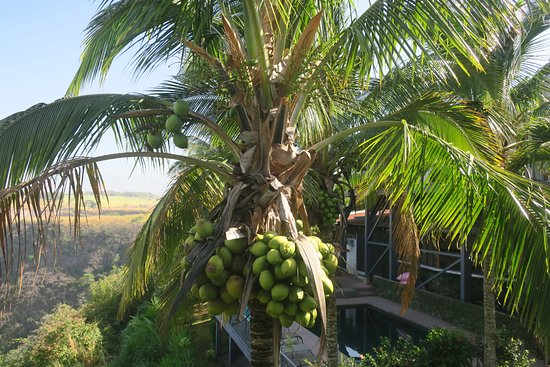 Vista Canyon Inn: A coconut tree outside of our room
