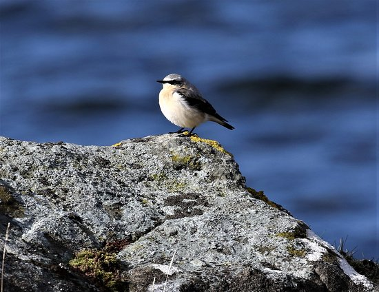 Aros, UK: Spring is here when the wheatear arrives on Mull.