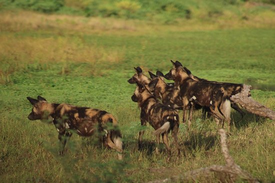 Parque Nacional de Mana Pools, Zimbabue: Painted dogs