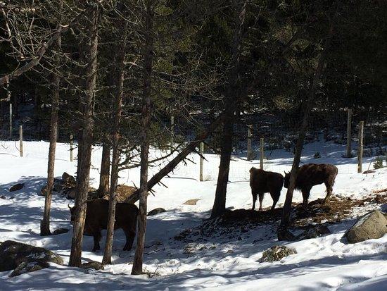 Parc animalier des Angles: Bisontes