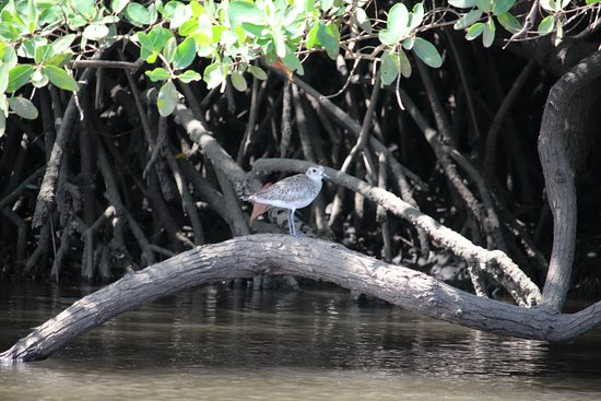 Playa Grande, Costa Rica: Mangrove tour