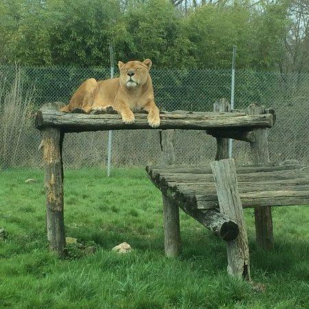 reserve cougar limoges