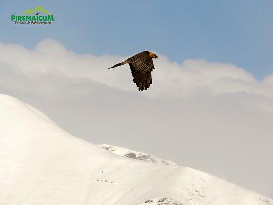 Montanuy, Spania: Fotografía quebrantahuesos