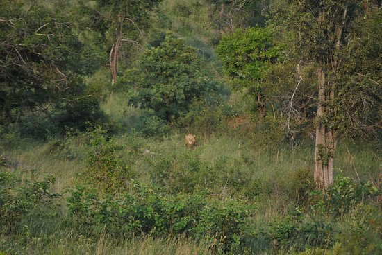 Skukuza Rest Camp: Lion in the early morning light